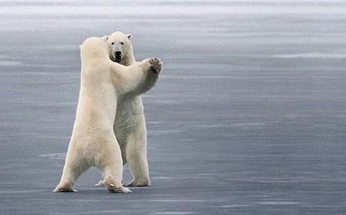 搞笑北极熊图片_两只在打架
