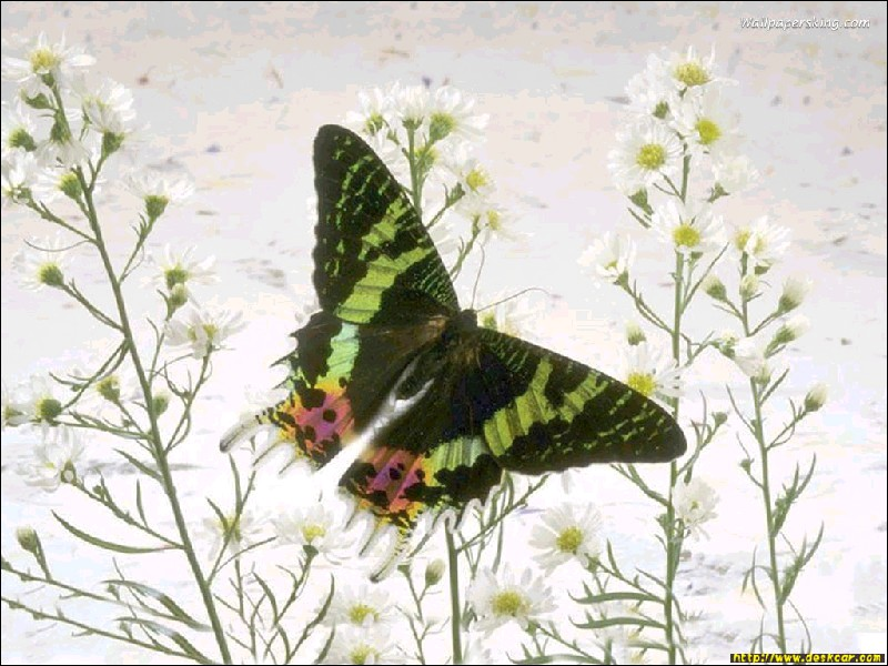 无水印蝴蝶图片