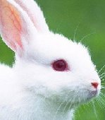 可爱的小白兔图片大全