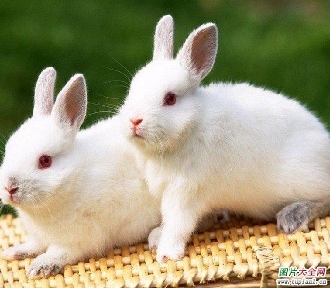 可爱的小白兔图片大全(2)