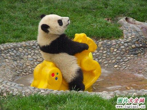 可爱小熊猫1