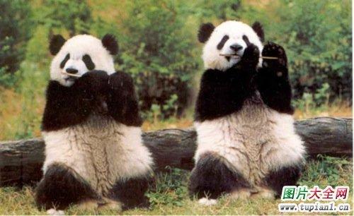 可爱小熊猫2