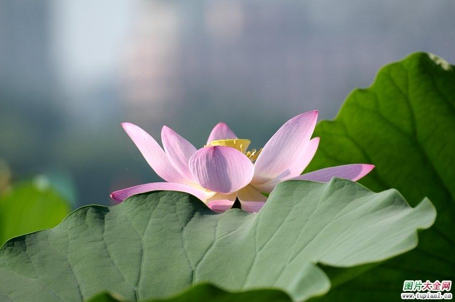 莲花摄影作品2