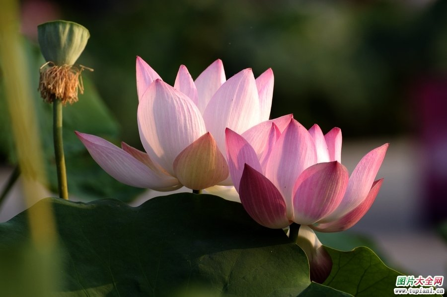 莲花摄影作品1