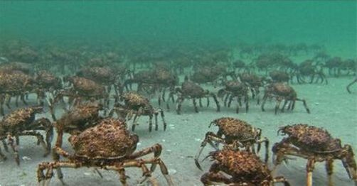 巨型杀人蟹图片