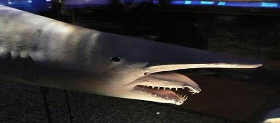 精灵鲨图片4