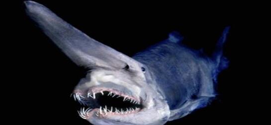 精灵鲨图片3