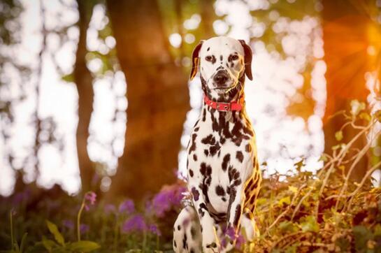 斑点狗图片1