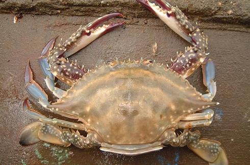 梭子蟹图片