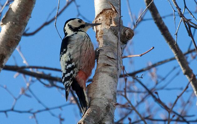 啄木鸟图片1